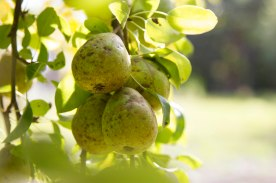 photo of a bunch of pears