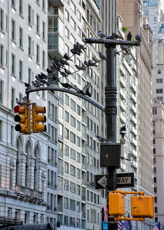 Pigeons rest on traffic lights