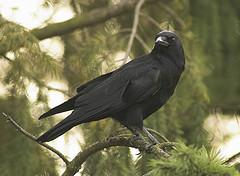 C'est beau un corbeau, non?