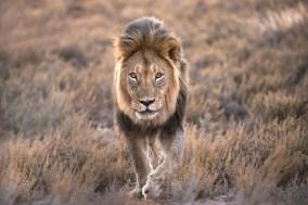 Kalahari majesty