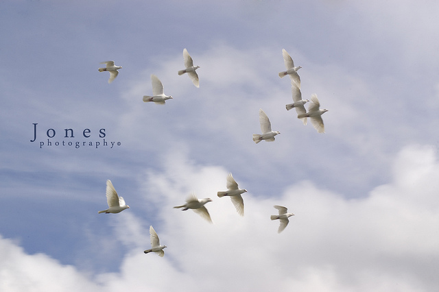Photo credit: jonesylife || Oh look, a dozen doves flying at the FOMC!