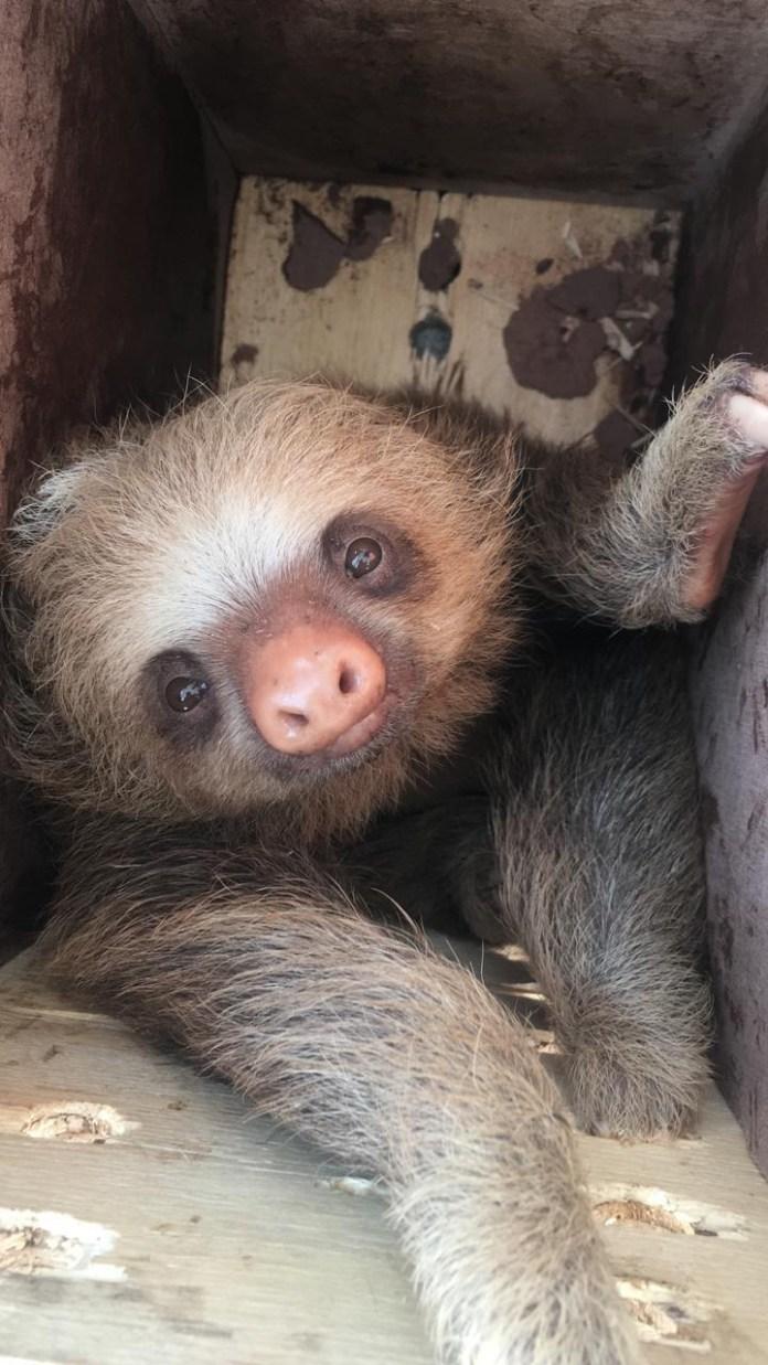 Detiene a mujer que traficaba monos cara blanca y osos perezosos bf5240ba 77ec 4d0e a08f 88216e9c3699