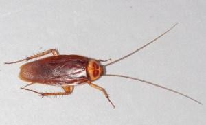 American Cockroach Joplin MO