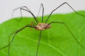 Daddy Long Leg Spider Joplin MO