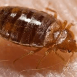 Bed Bug Extermination Joplin MO