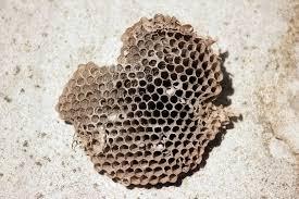 Paper Wasp Nest Joplin MO