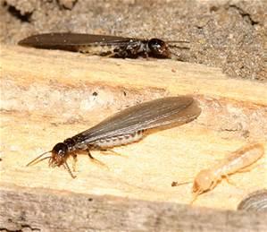 Winged Termites Joplin MO