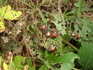 japanese_beetles