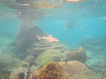 Baby Shark - Malesia