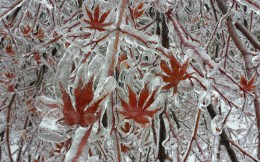 A layer of ice coats the leaves of a Japanese maple tree after an ice storm in Toronto