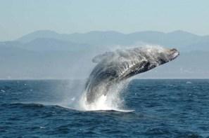 quebec-balene