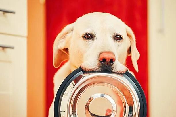 Integrazione. Labrador Retriever con ciotola in bocca