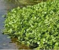 erbe spontanee per il cane il crescione d'acqua