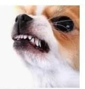Vocalizzazione del cane. Il Ringhiare
