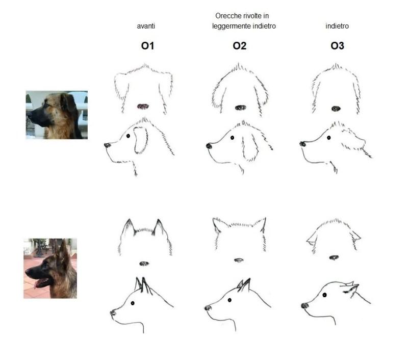 Il linguaggio del corpo del cane. Le orecchie
