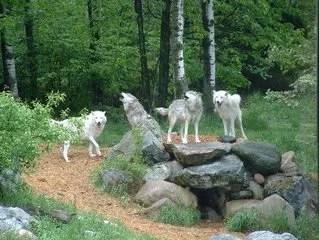 cane alpha o lupo alpha, sono la stessa cosa? No!