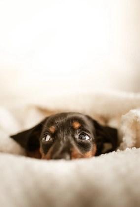 Cane che si nasconde perchè sgridato dopo aver fatto pipì a letto