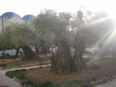 huerto olivos