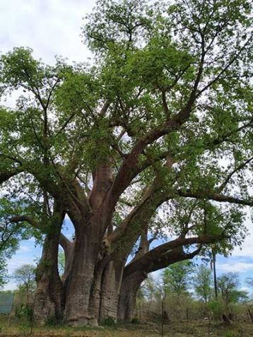 Baobab cerca Cataratas Victoria