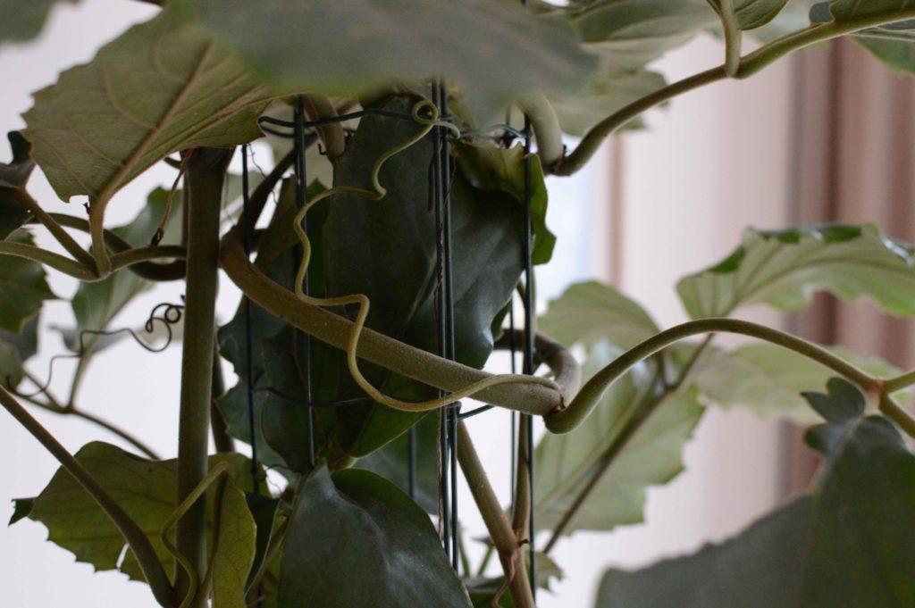 Tetrastigma voinieranum scheut
