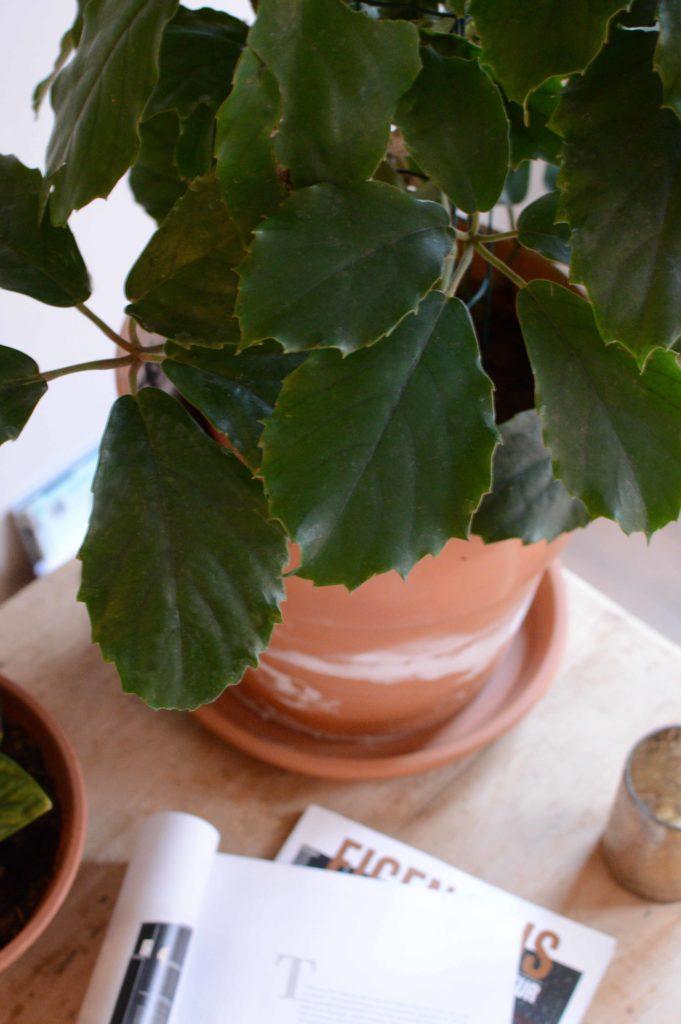 tetrastigma vionieranum blad