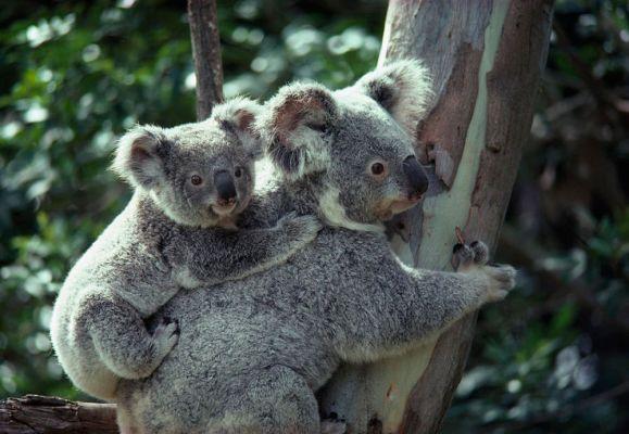 baby-koala-bear