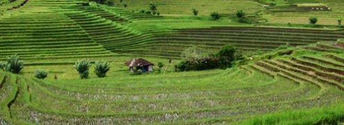 bali-rice-paddies-5