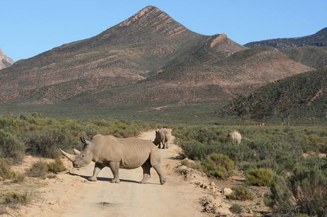 aquila game reserve rhinoceros last pictures