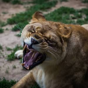The lion's yawn - Photo by Alex Leonard