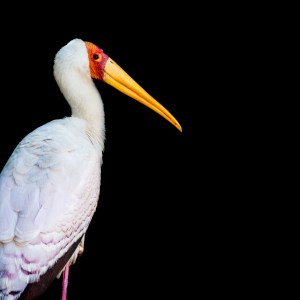 Yellow Billed Stork (Myceteria Ibis)