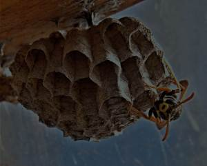bee-and-wasp-removal