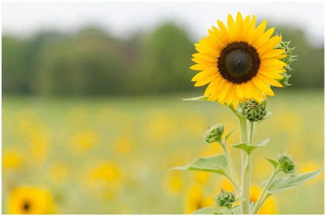 Alexandra Michelle Photography- Burnside Sunflower Farm-91