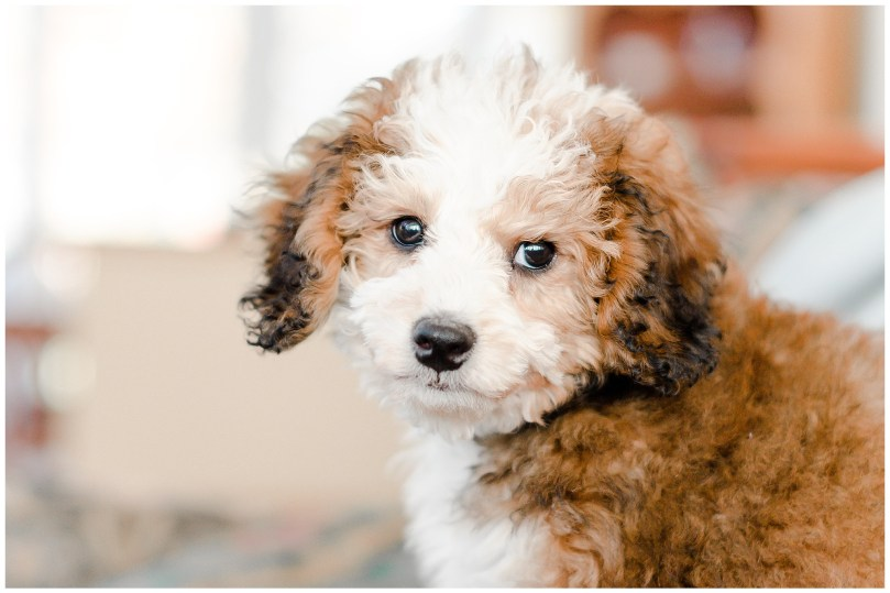 Alexandra Michelle Photography - Lucy the Bernadoodle-5