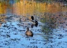 impressionist-ducks-2