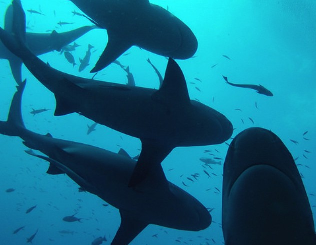 Sharks' Social Behavior: Solitary or Sociable?