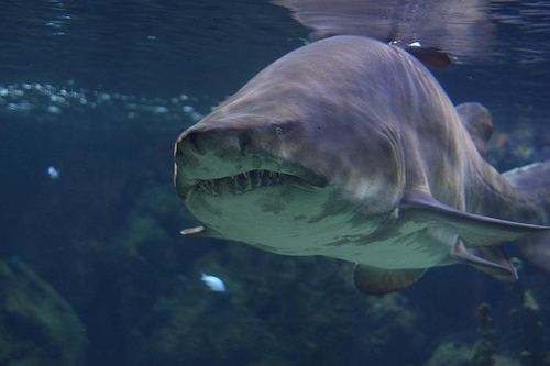 Sand Tiger Sharks: More Social Than Scientists Suspected?