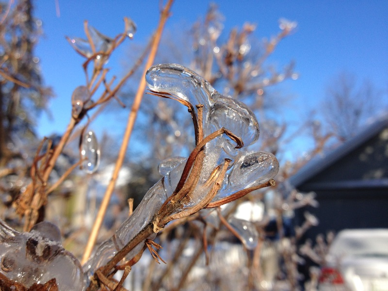 Photo of an icy shrub on a sunny day in Bangor, Maine