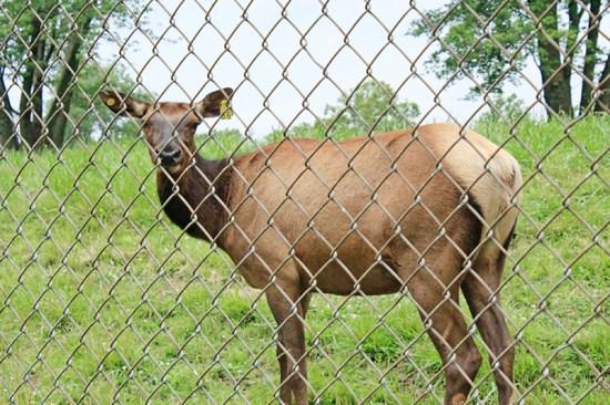 Missouri Town 1855 - Elk female 2