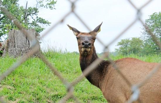 Elk female 3
