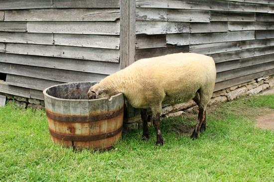 Missouri Town 1855 - Sheep drinking