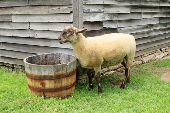 Missouri Town 1855 - Sheep
