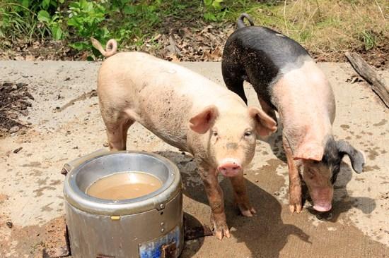 Missouri Town 1855 - Pigs
