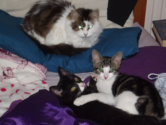 Three cats, two tabby and white and one black and white, in my bed