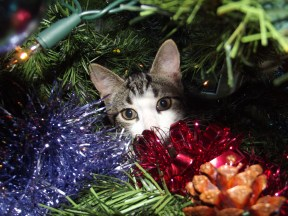 Tabby and white kitten hiding behind the tinsel halfway up a Christmas tree