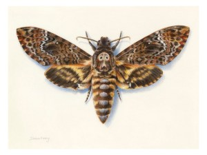 Watercolour painting of a Death's-head hawkmoth by Dianne Emery