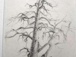 Drawing by Elizabeth Cross. Pine Tree Tyreso 2003