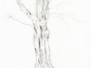 Drawing by Elizabeth Cross Port Jackson Fig 014