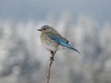 A female bluebird the morning after a spring snow, on traditional territory of the Blackfoot Confederacy, Treaty 7 lands, and a traditional travel route for various Aboriginal peoples across the Rocky Mountains.