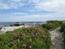 Wild Roses in Kejimkujik Park in Nova Scotia. Traditional and unceded territory of the Mi'kmaq People.