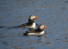 A pair of Atlantic puffins near Sydney, Nova Scotia. Traditional and unceded territory of the Mi'kmaq People.
